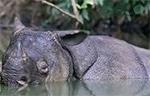 rinoceronte java