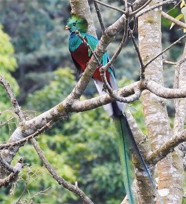 pájaro quetzal