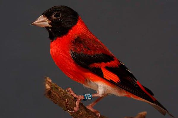 cardenalito