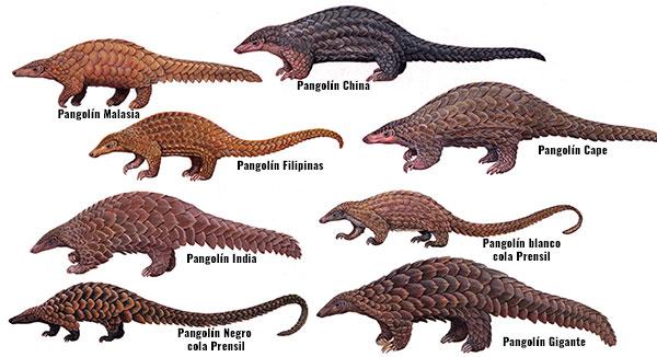 especies de pangolínes