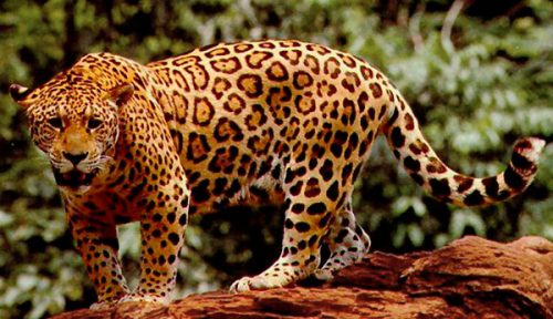 jaguar colombiano