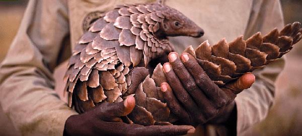 pangolin africa