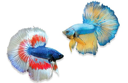 pez luchador siam