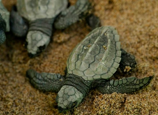 crias tortuga verde