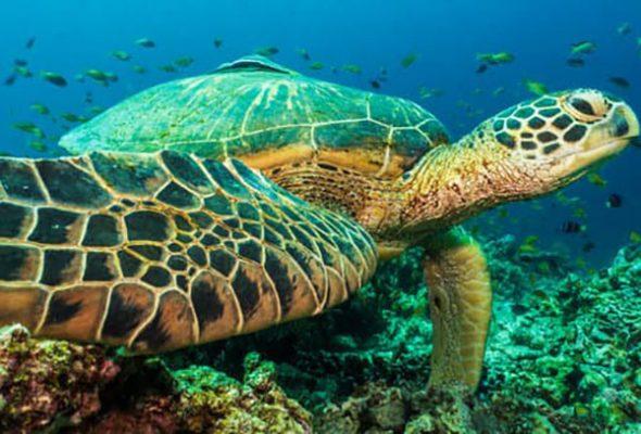 habitat tortuga verde